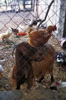 capre e galline