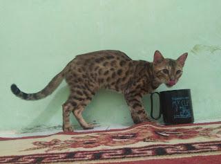Kucing Persia Anggora Balaraja Tangerang Segitu Petshop