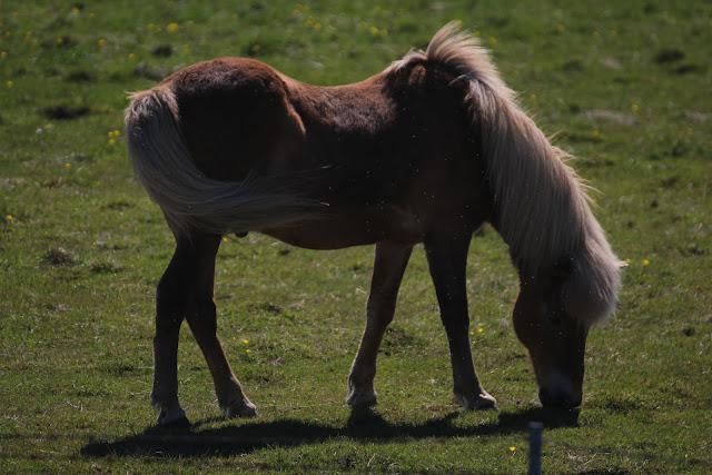 סוסים איסלנדיים