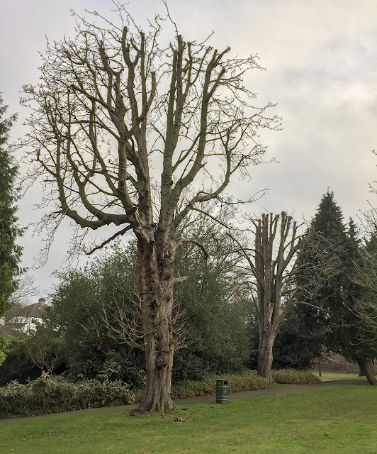 Horse-chestnut trees, Aesculus hippocastanum.  The Knoll, Hayes, 12 November 2016.