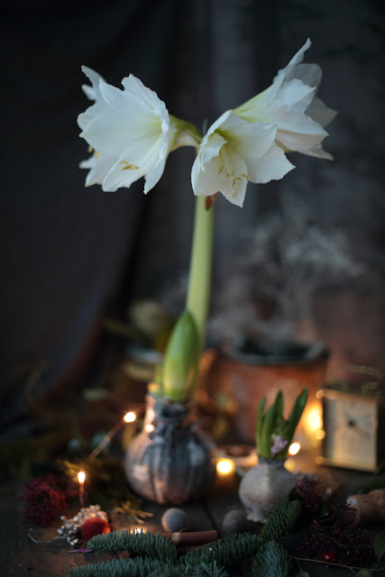 amaryllis, wax bulbs
