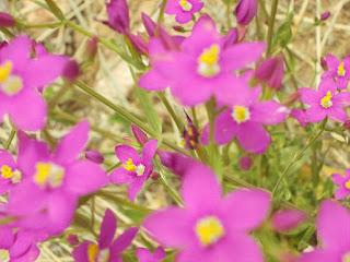Centaura menor, Centaurium umbellatum Planta Medicinal para el hígado. del bazo y el hígado