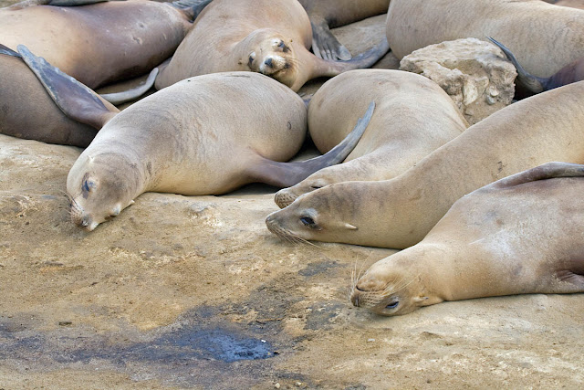 Sea Lion slumber party.