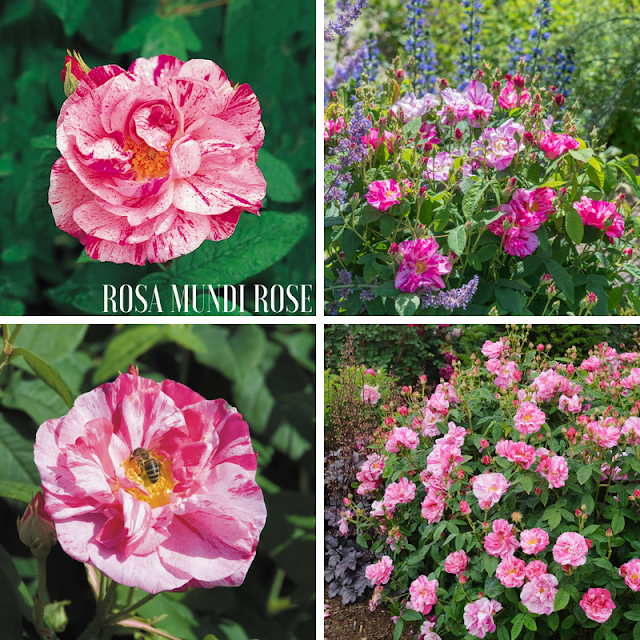 hoa hồng cổ Rosa_Mundi