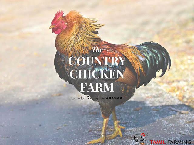 Country Chicken Farming, நாட்டு கோழி பண்ணை, Nattu Kozhi Pannai, Organic Farming Method