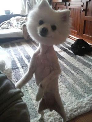 un cane bianco rasato