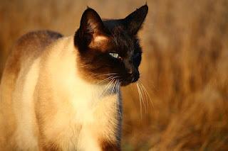 Jenis Kucing Ras Paling Lucu beserta Harga Terbaru, siamese