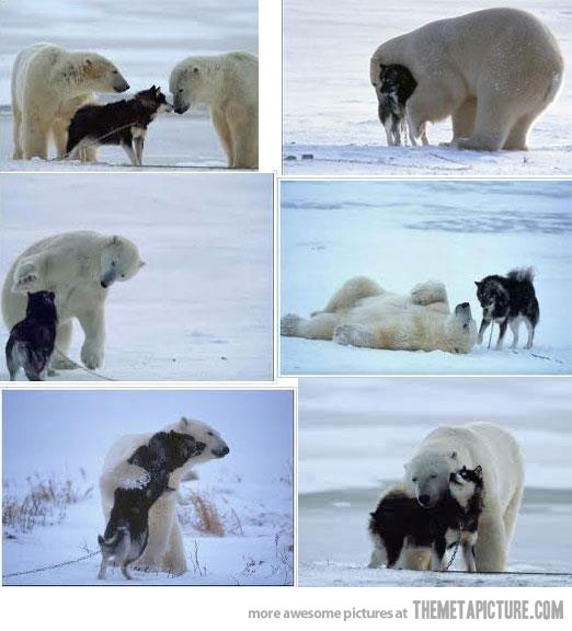 polar bear and husky playing