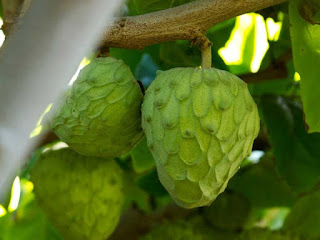 cherimoya fruit images