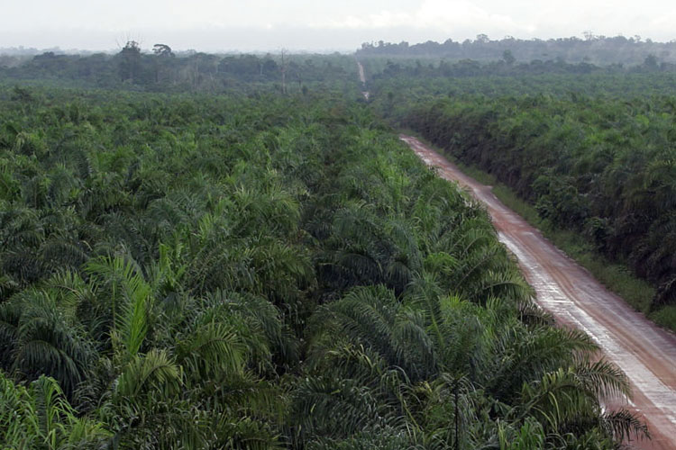 oil palm plantation and mills