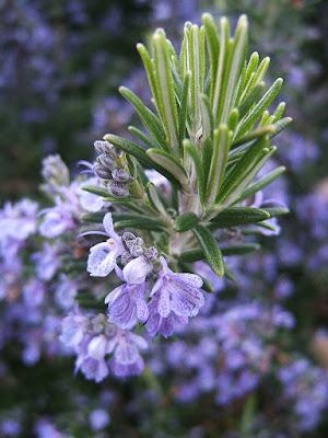 Manfaat Rosemary Untuk Kesehatan