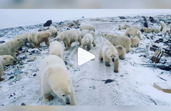 Invasione di Orsi Polari crea Emergenza in aree popolate.