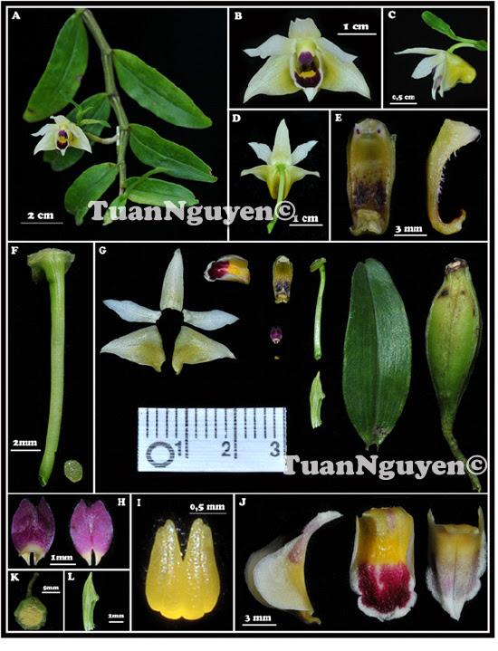 Dendrobium scoriarum W.W.Sm.