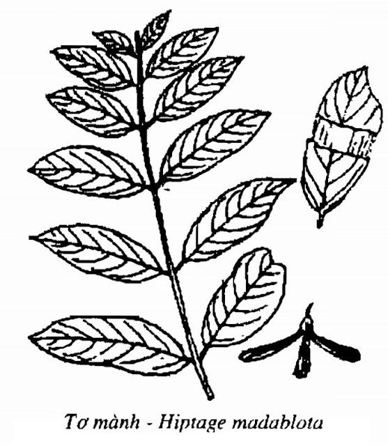 Hình vẽ Tơ Mành - Hiptage madablota - Nguyên liệu làm thuốc Đắp vết thương Rắn Rết cắn