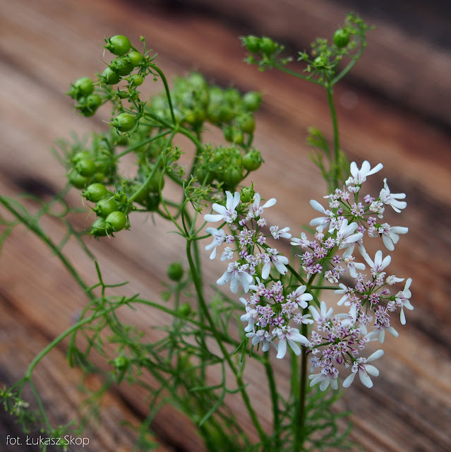 jadalny kwiat kolendry