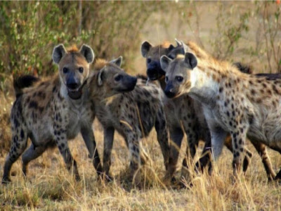 hyena brotherhood