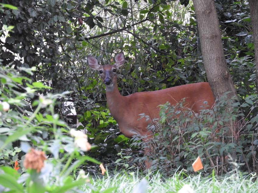 Terrierman's Daily Dose: Deer In the Backyard This Morning