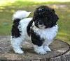 PeekaPoo Puppy Price