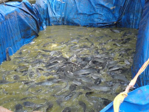 Cara Budidaya Ikan Lele Menggunakan Kolam Terpal Menguntungkan