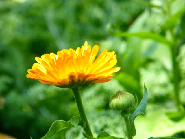 Golden Yellow Calendula