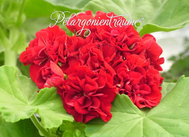 rote-Rosenpelargonie-rot