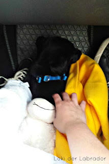 Labrador Welpe Fußraum