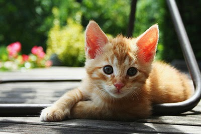 Ginger kitten in the sun