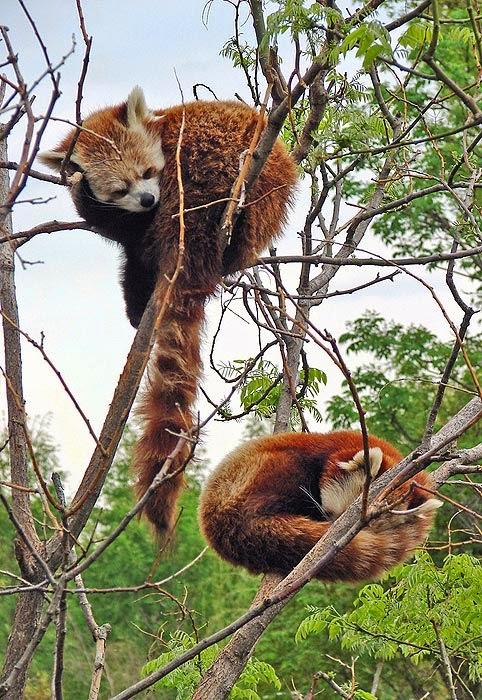 Panda rojo (Ailurus fulgens)