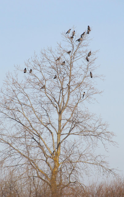сороки-вороны