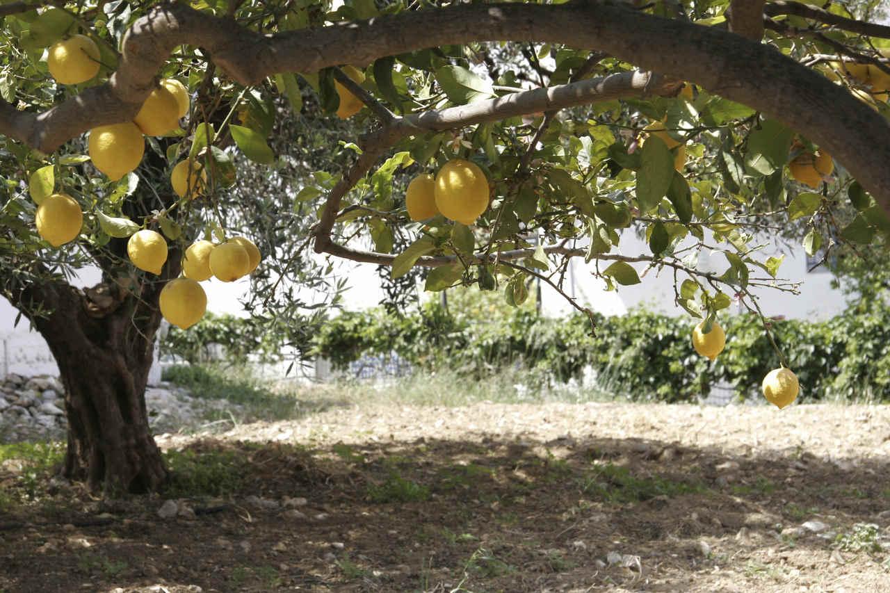 Blog de sociales 1 eso paisaje mediterr neo - Plantar limonero en maceta ...