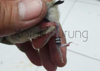 Saat ini banyak dari Pleci Mania yang sudah menerapkan ternak Pleci Cara Pemasangan Ring Kaki Pada Burung Pleci