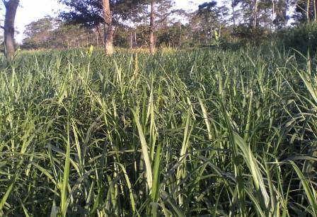 Gambar Rumput Raja (king grass)