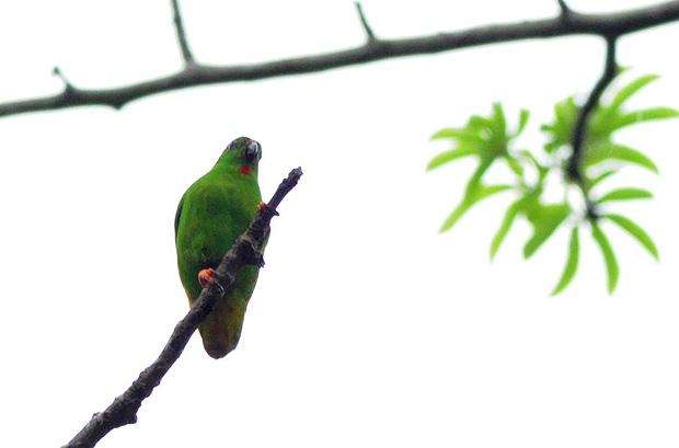 Di dunia internasional burung ini dikenal dengan nama  Mengenal Burung Serindit Sangihe