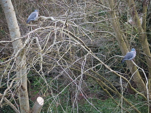Mr and Mrs woodpigeon