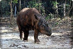 Badak Berbulu dan Bercula Dua Sumatera Indonesia