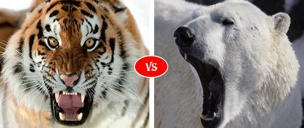 Polar Bear vs Siberian Tiger