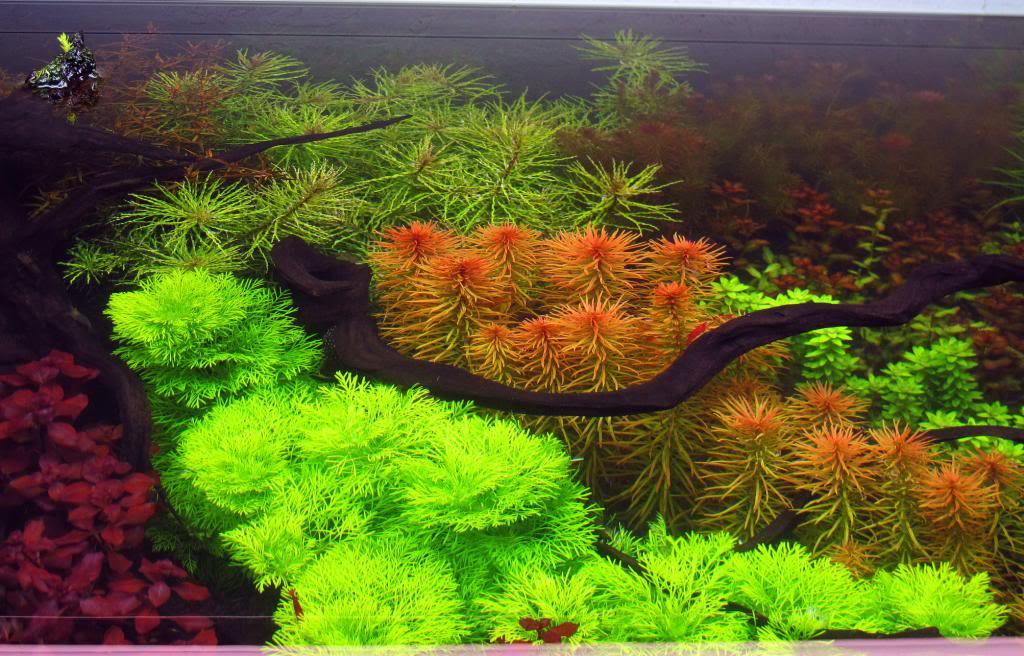 Hồng Thái Dương có một vẻ đẹp rất đặc biệt trong hồ thủy sinh
