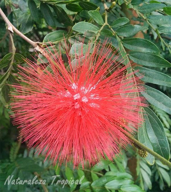Variedad Roja de la flor de la Caliandra, Calliandra haematocephala
