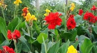 Kana atau bunga tasbih