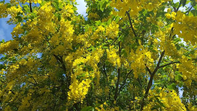 canopy of Laburnum x watereri 'Vossii' in full flower
