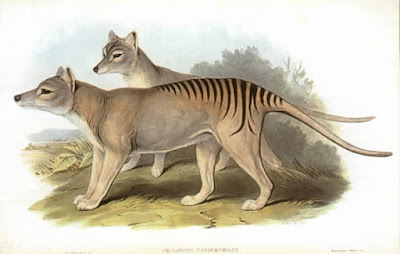 The dingo is wrongly blamed for the extinction of the thylacine.