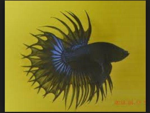 Jenis Ikan Cupang Serit dan Cantinya Dipelihara