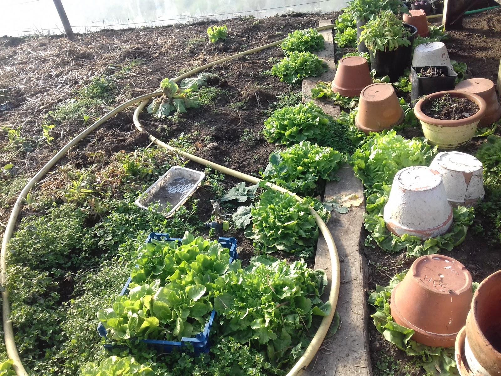 Quelle Salade Planter Maintenant le potager des violettes: février 2019