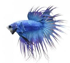 Jenis-Jenis Ikan Cupang