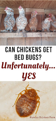bed bugs in the chicken coop
