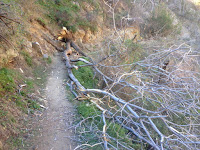 Fallen tree on Fish Canyon Trail, Angeles National Forest