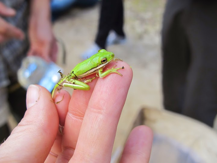 Our Herp Class: Spotted: The American Green Tree Frog ...