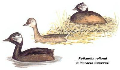 Macá común Rollandia rolland