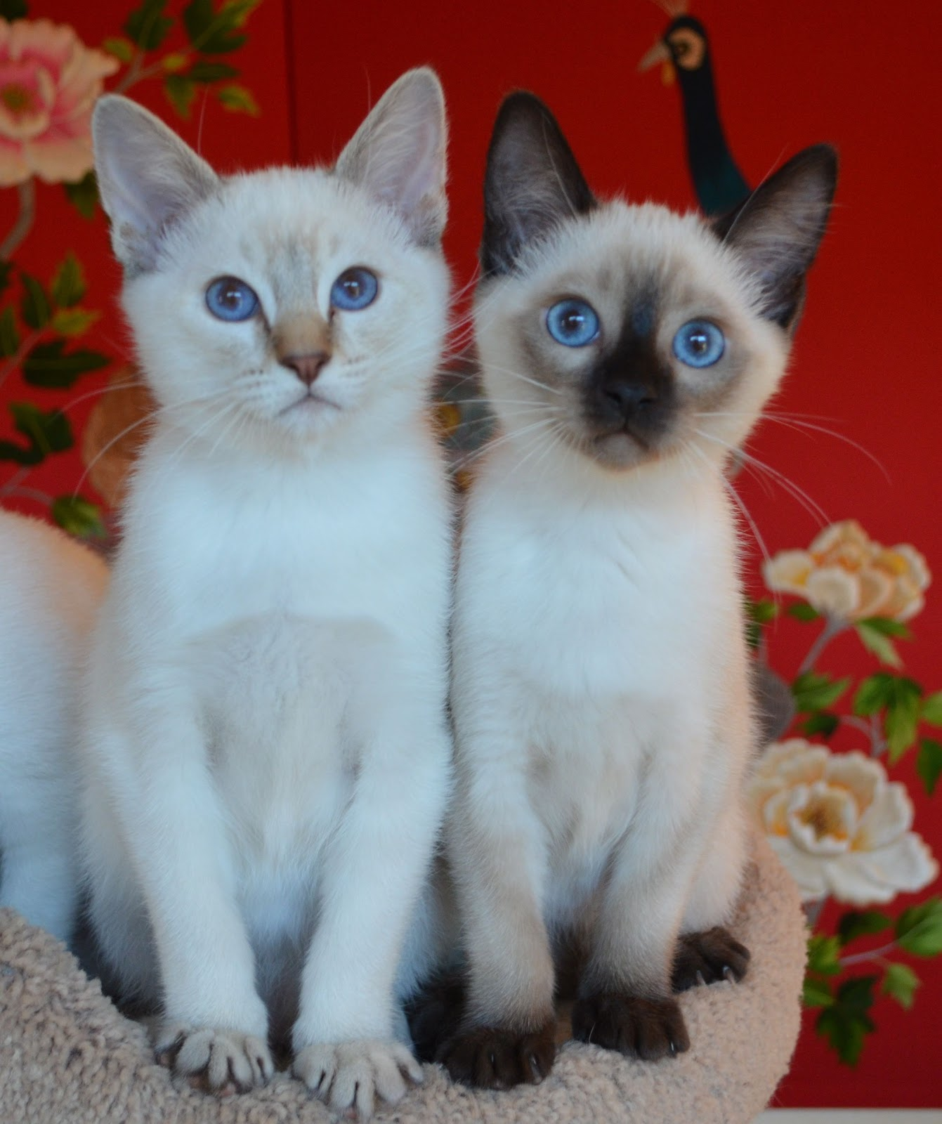 Sorry sold) Balinese/Siamese kittens | Baliwest