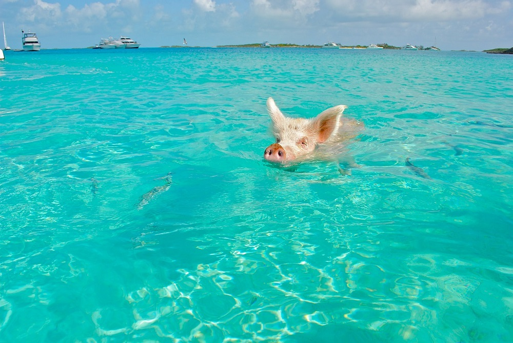 Pig swimming in Bahamas